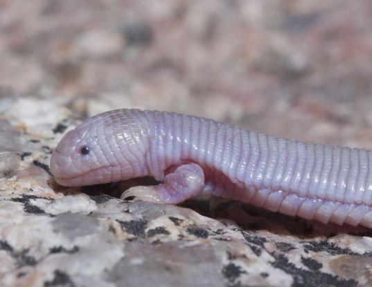 Picture of a mole lizard (Bipes biporus)