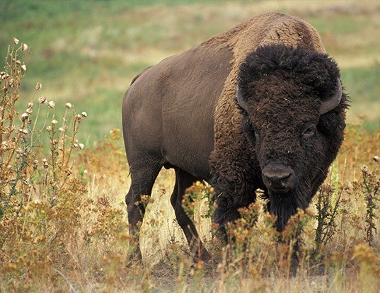 Picture of a american bison (Bison bison)