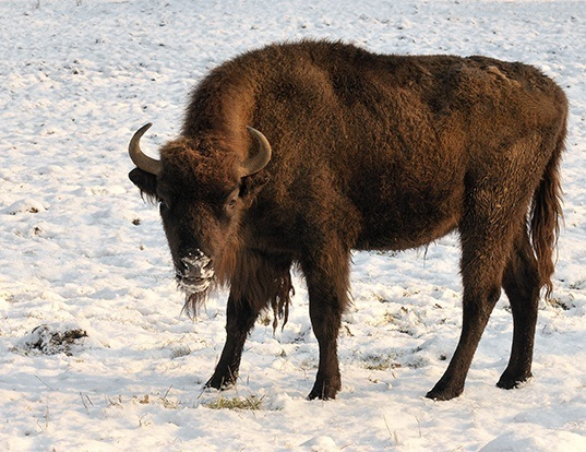 Picture of a european bison (Bison bonasus)