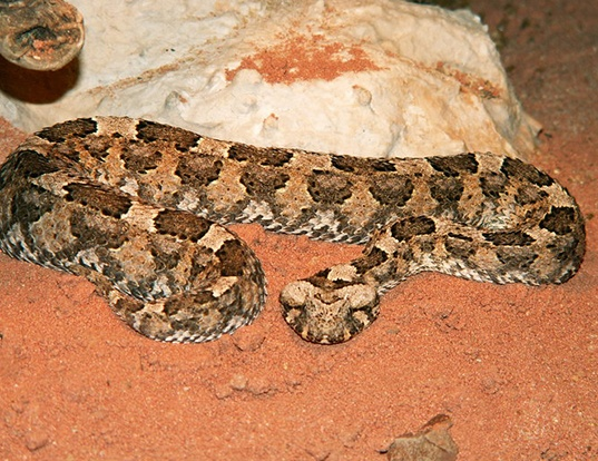 Picture of a horned puff adder (Bitis caudalis)