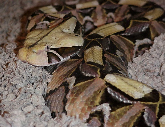 Picture of a gaboon viper (Bitis gabonica gabonica)