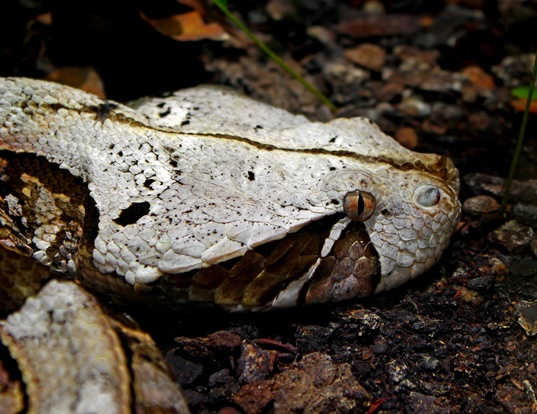 Picture of a gaboon adder (Bitis gabonica)
