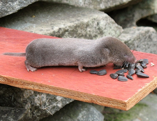 Picture of a northern short-tailed shrew (Blarina brevicauda)