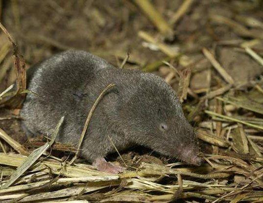 Picture of a elliot's short-tailed shrew (Blarina hylophaga)