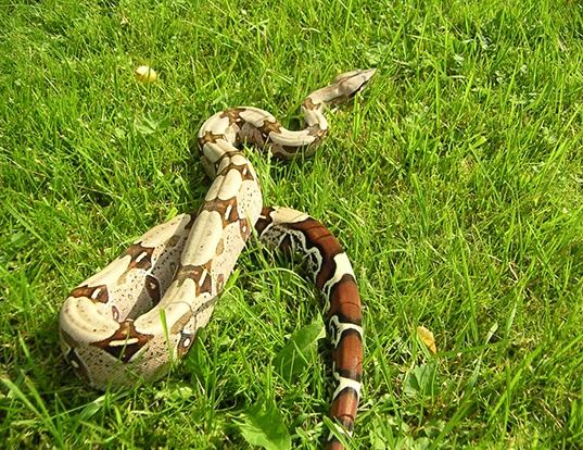Picture of a red-tailed boa (Boa constrictor constrictor)