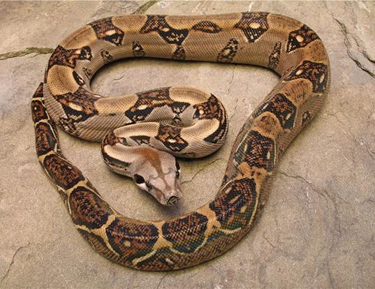 Picture of a albino boa constrictor (Boa constrictor imperator)