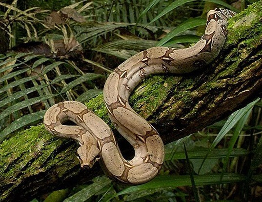 Boa Constrictor Life Expectancy