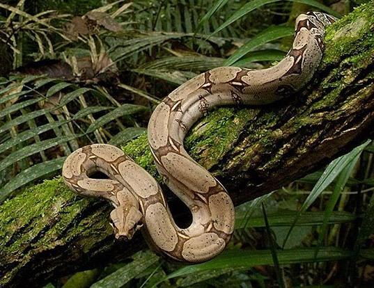 Picture of a boa constrictor (Boa constrictor)