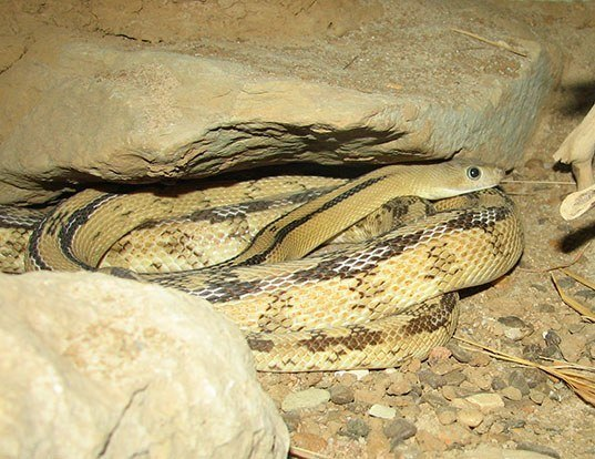 Picture of a trans-pecos rat snake (Bogertophis subocularis)