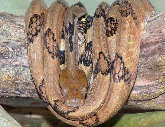 Picture of a dog-tooth cat snake (Boiga cynodon)