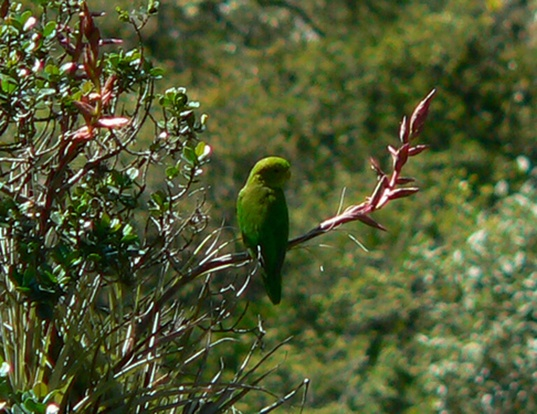 Picture of a andean parakeet (Bolborhynchus orbygnesius)