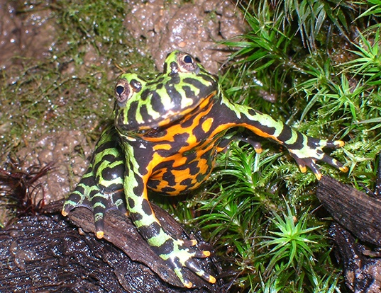 Picture of a oriental bell toad (Bombina orientalis)