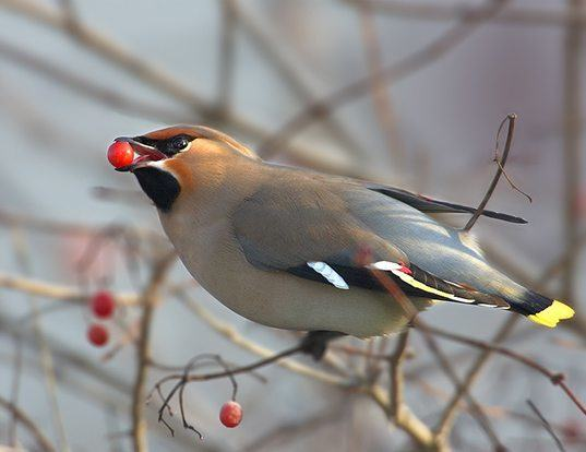 Picture of a bohemian waxwing (Bombycilla garrulus)