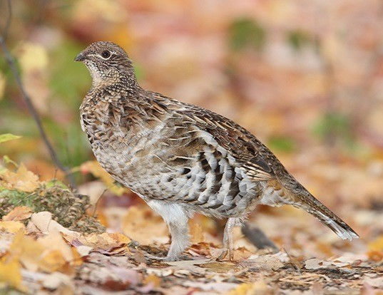 Picture of a ruffed grouse (Bonasa umbellus)
