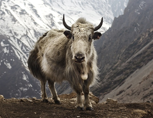 Picture of a yak (Bos grunniens)