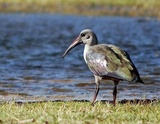 Picture of a hadada ibis (Bostrychia hagedash)