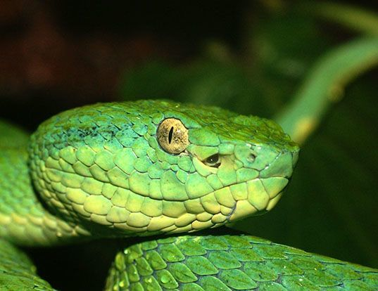 Picture of a side-striped palm pit viper (Bothriechis lateralis)