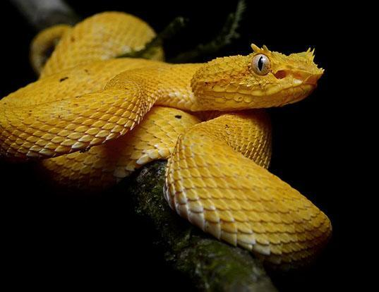 Picture of a eyelash viper (Bothriechis schlegelii)