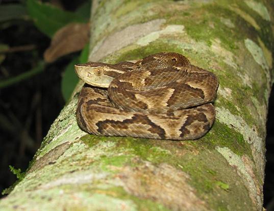 Picture of a jararaca (Bothrops jararaca)