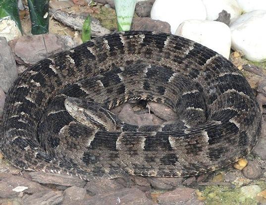 Picture of a jararaca pintada (Bothrops neuwiedi)