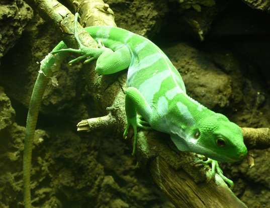 Picture of a lau banded iguana (Brachylophus fasciatus)
