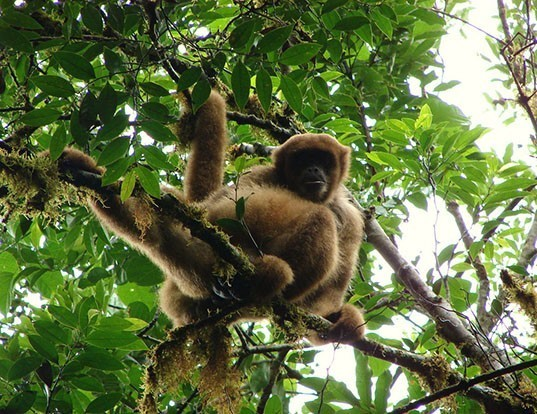 Picture of a woolly spider monkey (Brachyteles arachnoides)