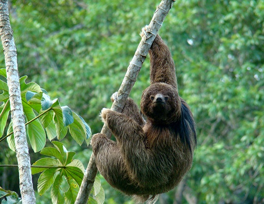 Picture of a maned three-toed sloth (Bradypus torquatus)