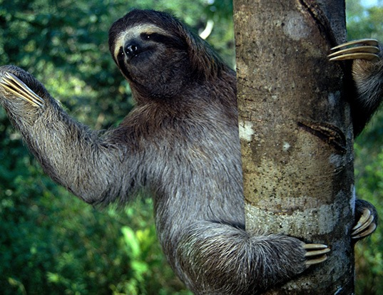 Picture of a brown-throated sloth (Bradypus variegatus)