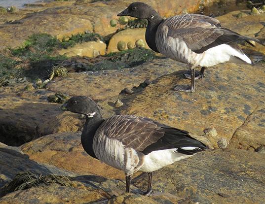 Picture of a pale-bellied brant goose (Branta bernicla hrota)