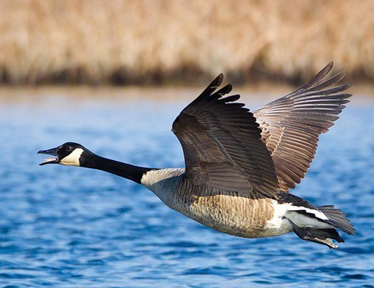 Picture of a canada goose (Branta canadensis)