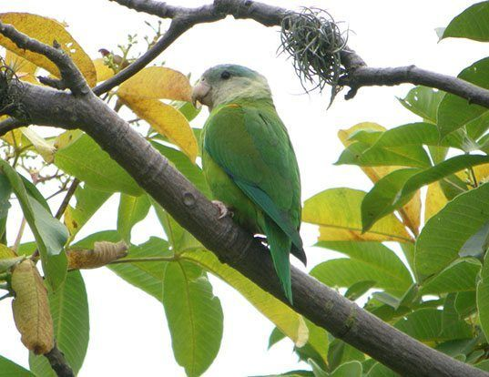 Picture of a grey-cheeked parakeet (Brotogeris pyrrhoptera)