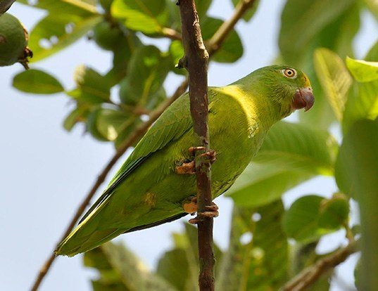 Picture of a tui parakeet (Brotogeris sanctithomae)