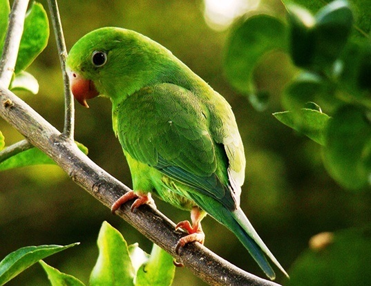Picture of a plain parakeet (Brotogeris tirica)