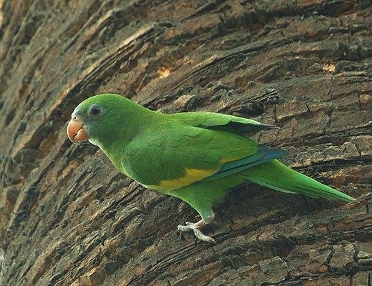 Picture of a white-winged parakeet (Brotogeris versicolurus)