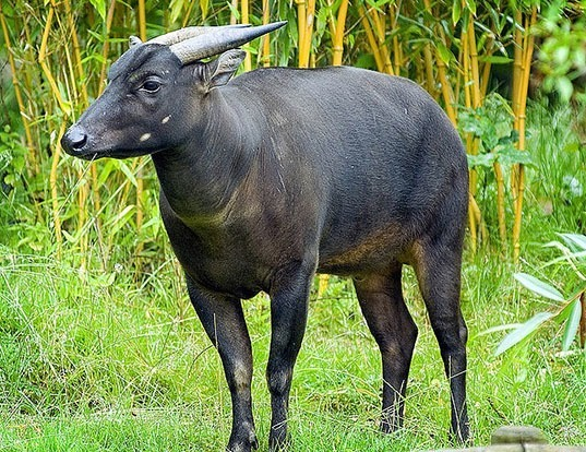 Picture of a mountain anoa (Bubalus quarlesi)
