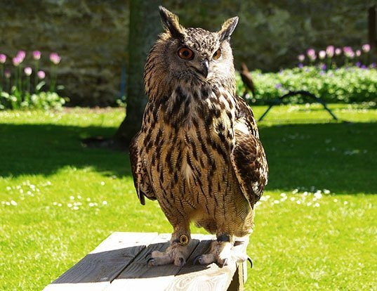 Picture of a eurasian eagle-owl (Bubo bubo)