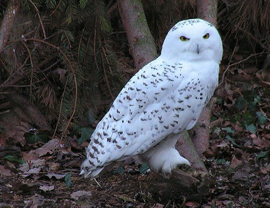 Picture of a snowy owl (Bubo scandiacus)