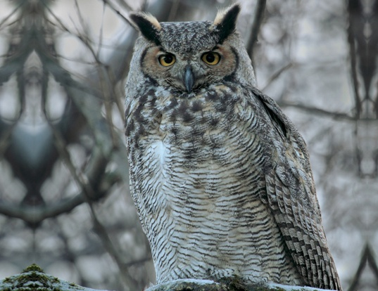 Picture of a great horned owl (Bubo virginianus)