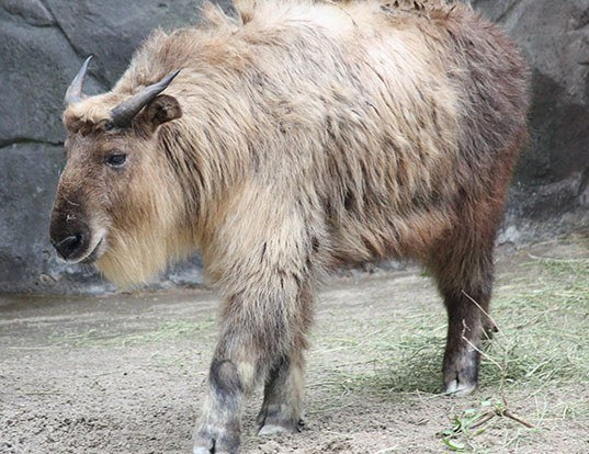 Picture of a takin (Budorcas taxicolor)