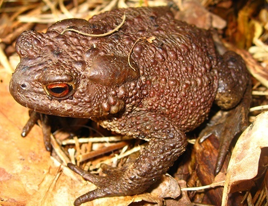 Picture of a toad (Bufo bufo)
