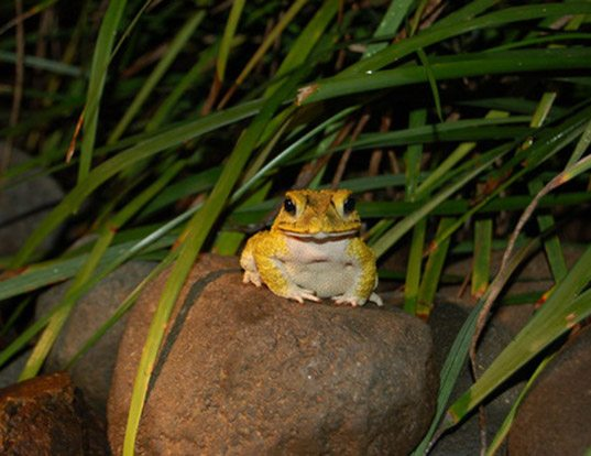 Picture of a yellow toad (Bufo luetkenii)