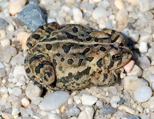 Picture of a woodhouse toad (Bufo woodhousei fowleri)