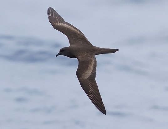 Picture of a bulwer's petrel (Bulweria bulwerii)