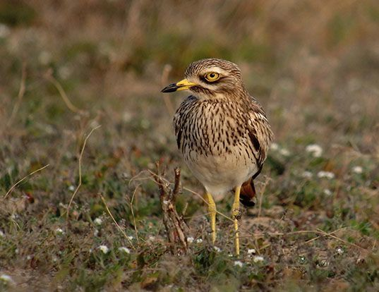 Picture of a eurasian thick-knee (Burhinus oedicnemus)
