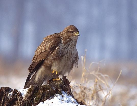 Picture of a eurasian buzzard (Buteo buteo)