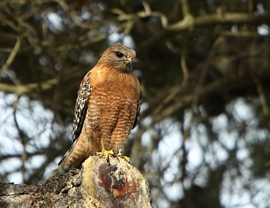 Picture of a red-shouldered hawk (Buteo lineatus)