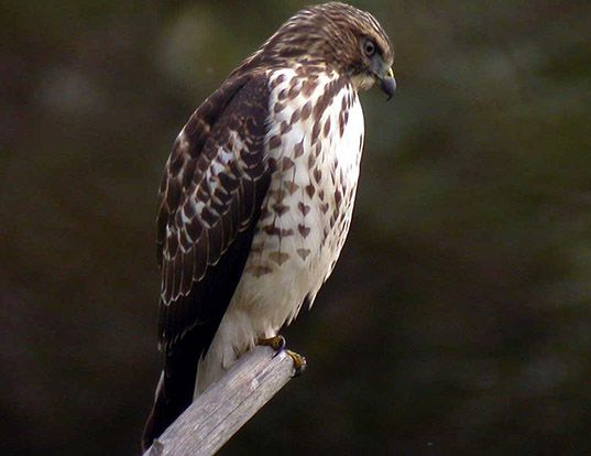 BROAD-WINGED HAWK LIFE EXPECTANCY