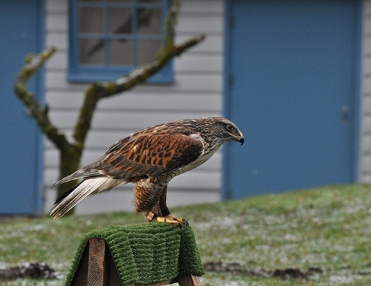 Picture of a ferruginous hawk (Buteo regalis)