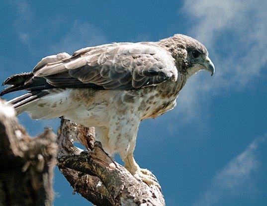 Picture of a hawaiian hawk (Buteo solitarius)