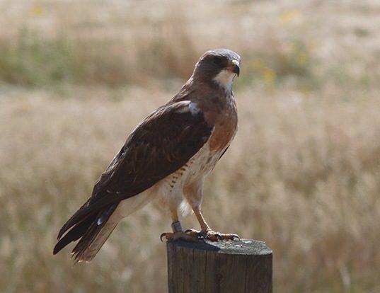 Picture of a swainson's hawk (Buteo swainsoni)